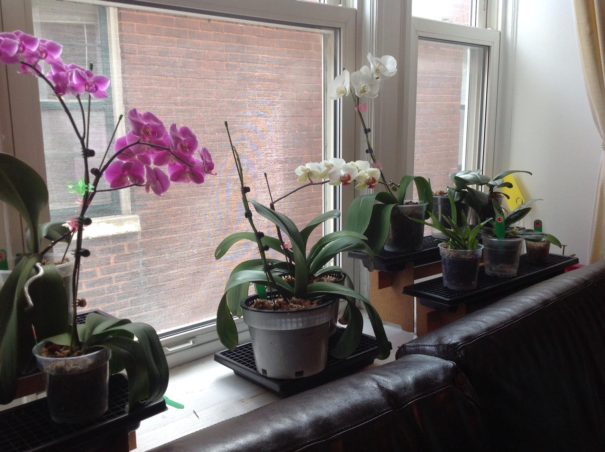 Как цветет орхидея фаленопсис в домашних условиях 861